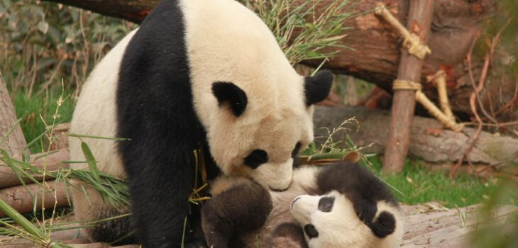 Hunting for Giant Pandas