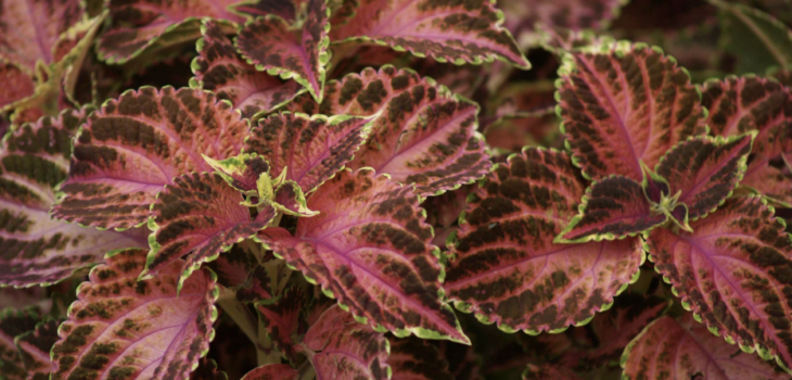 Planted to Bloom: Your Quick Guide to Planting Coleus Plants