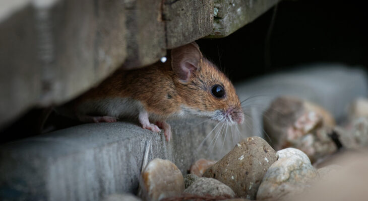 How Mice Get in the House Without You Noticing