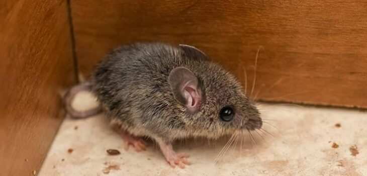 How To Get Rid of Mice in Walls or Attics